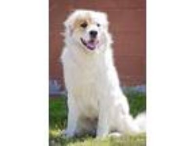 Adopt Maverick a White - with Tan, Yellow or Fawn Great Pyrenees / St.