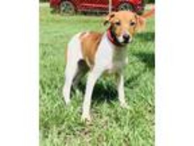 Adopt Larry a Jack Russell Terrier