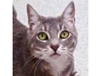 Adopt Cassidy - Fostered in Santa Cruz, CA a Domestic Short Hair