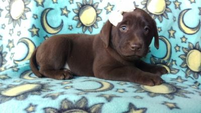 Labrador Retriever PUPPY FOR SALE ADN-103253 - Chloe the Labrador