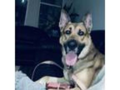 Adopt Kody (CL) a German Shepherd Dog