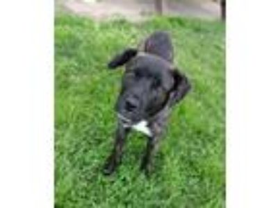 Adopt JESSICA a Brindle - with White Cane Corso / Beauceron / Mixed dog in