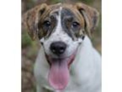 Adopt Bubba a Brindle - with White Boxer / Great Pyrenees / Mixed dog in