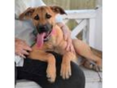Adopt 41956728 a Black Mouth Cur