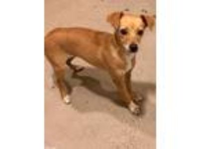 Adopt KRIS S (Abigail) a Terrier (Unknown Type, Small) / Mixed dog in Redwood