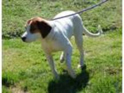 Adopt DAISY (Meet this sweet, pretty girl in VT) a Hound