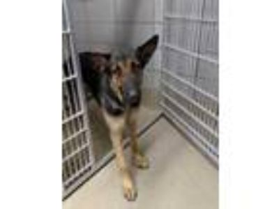 Adopt 42177940 a Black German Shepherd Dog / Mixed dog in Fort Worth