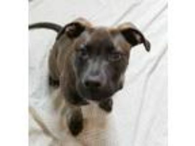 Adopt Lambchop a Terrier (Unknown Type, Small) / Labrador Retriever / Mixed dog