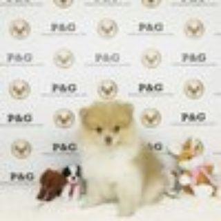 Pomeranian PUPPY FOR SALE ADN-70290 - Pomeranian  Charles  Male