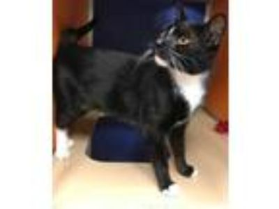 Adopt Magnus a All Black Domestic Shorthair / Domestic Shorthair / Mixed cat in