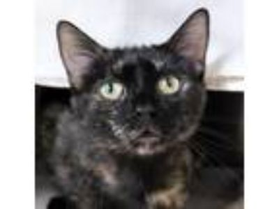 Adopt Misty a All Black Domestic Shorthair / Domestic Shorthair / Mixed cat in