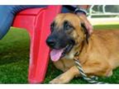 Adopt SANDY a Brown/Chocolate - with Black Bloodhound / Mixed dog in Dallas