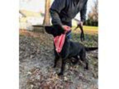 Adopt Carol a Labrador Retriever