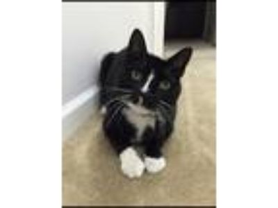 Adopt Oreo a Black & White or Tuxedo American Shorthair cat in Deerfield Beach