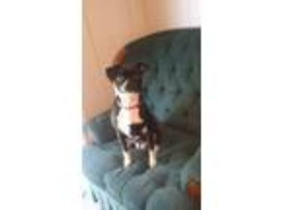 Adopt Hannah a Black - with White Pug / Hound (Unknown Type) dog in