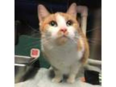 Adopt Honey Bunny a Domestic Short Hair