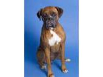Adopt Damien a Brown/Chocolate Boxer / Mixed dog in Santa Paula, CA (25940306)
