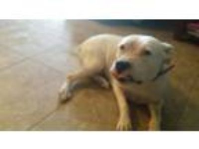 Adopt Keda a White American Pit Bull Terrier / Mixed dog in Laveen