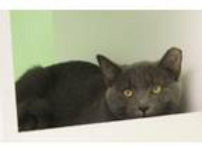 Adopt Sophia a Domestic Short Hair