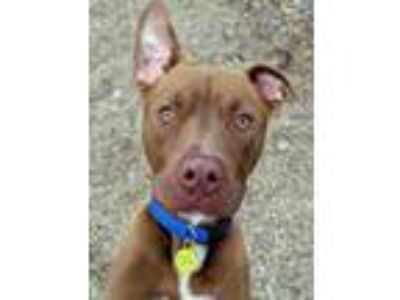 Adopt Roger a Pit Bull Terrier