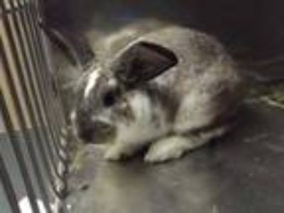 Adopt Roscoe a Grey/Silver American / American / Mixed rabbit in Cleveland