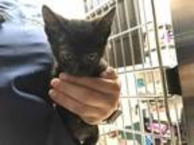 Adopt RYE a Black (Mostly) Domestic Shorthair / Mixed (short coat) cat in