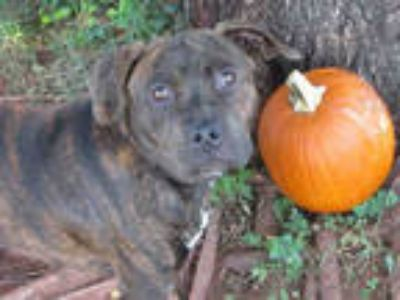 Adopt PUMPKIN a Brindle American Pit Bull Terrier / Mixed dog in Oklahoma City