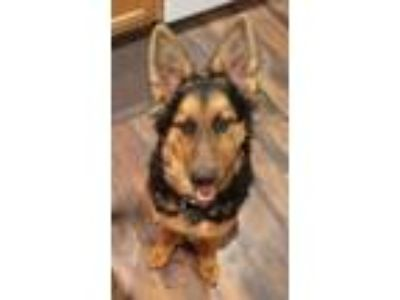 Adopt Max a Black German Shepherd Dog / Mixed dog in Battle Ground