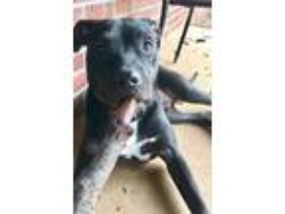 Adopt Corbin a Black - with White American Pit Bull Terrier / Labrador Retriever