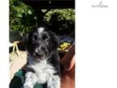 Border Collie puppy, lovable male