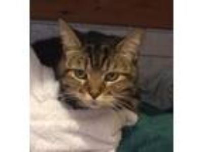 Adopt Jazz a Brown Tabby Domestic Shorthair (short coat) cat in Chicago