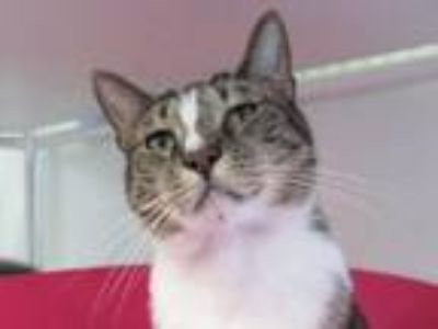 Adopt Attica a Domestic Shorthair / Mixed (short coat) cat in Cumberland