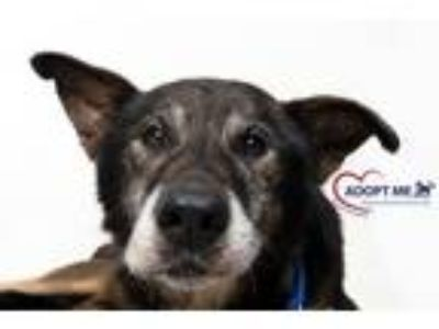 Adopt Junior a German Shepherd Dog