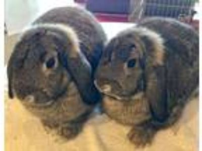 Adopt Alana and Andrina a Agouti Lop, Holland / Mixed (medium coat) rabbit in