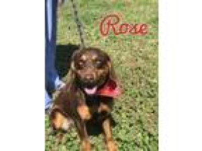 Adopt Rose a Brown/Chocolate Hound (Unknown Type) dog in Conway, AR (22919134)