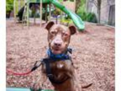 Adopt Fish Fry - Sponsored Adoption Fee! a Pit Bull Terrier, Mixed Breed