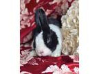Adopt Malt a Dutch Dutch / Mixed (medium coat) rabbit in Salisbury Mills