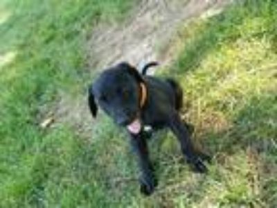 Adopt Waylon a Black Schnauzer (Standard) / Labrador Retriever dog in MCLEAN