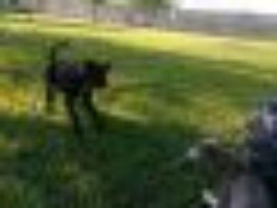 Sasha Labrador Retriever - Terrier Dog