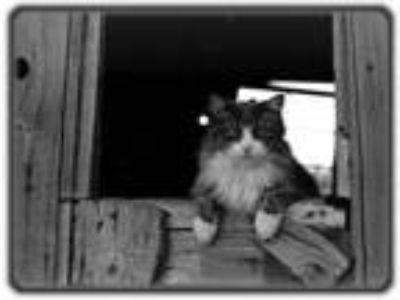 Adopt Barn Cats a Tabby