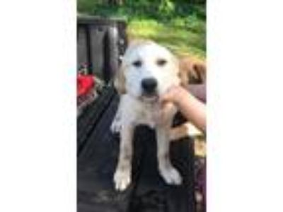 Adopt Blonde a Labrador Retriever, Great Pyrenees