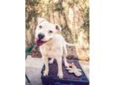 Adopt KIRBY a Pit Bull Terrier