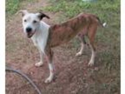 Adopt Christopher a Labrador Retriever, Plott Hound