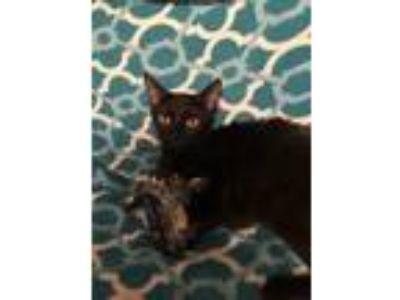 Adopt Nebula a All Black Domestic Mediumhair (medium coat) cat in Ocala