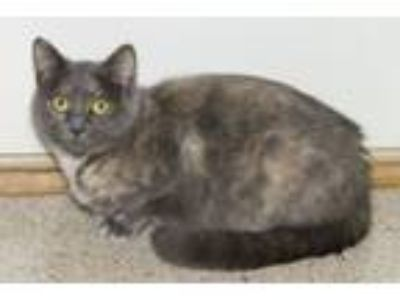 Adopt Misty May a Dilute Calico