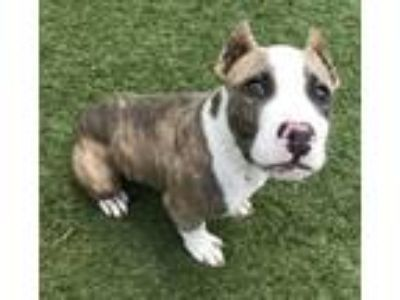 Adopt Pudge a Brindle - with White Pit Bull Terrier / Mixed dog in Little Elm