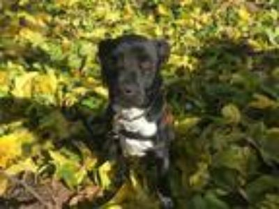 Adopt Mulligan a Black - with Gray or Silver Boxer / Labrador Retriever / Mixed
