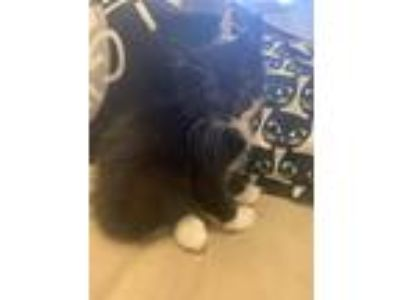 Adopt Reuben a Black & White or Tuxedo Domestic Shorthair / Mixed cat in
