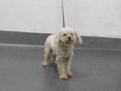 Adopt 20-00386 a Poodle