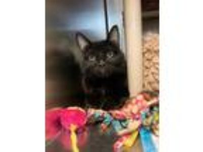 Adopt Zuzu a All Black Domestic Shorthair / Domestic Shorthair / Mixed cat in